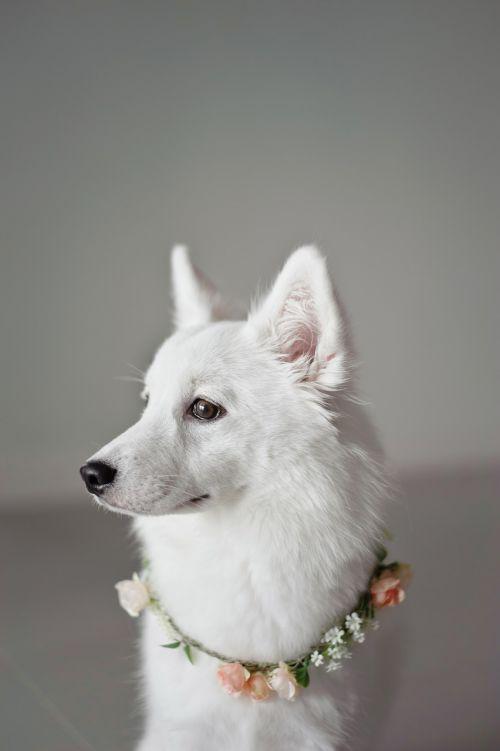 balta,šuniukas,korola,šunų kompanionas,gyvūnas,šuo,špicas