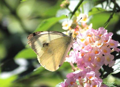 baltos spalvos, drugelis, žiedas, žydi, pobūdį, vasara, Iš arti, vabzdys, Sodas, sparnas, gyvūnas, augalų, drugeliai, apdulkinimas, maistą, maitinimasis, švelnus, saulė, žiedadulkės, rinkti, nektaras