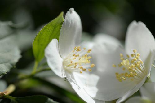 balta,žydėti,žiedas,žydėti,augalas,pavasaris,flora,žiedadulkės