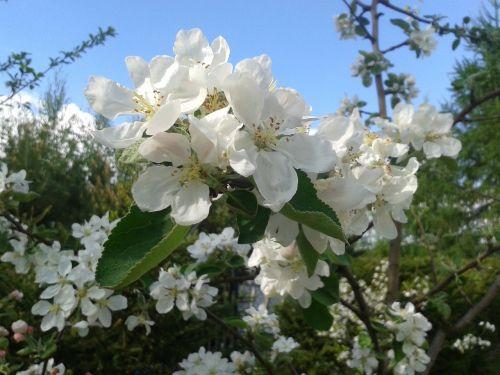 balta,pavasaris,medis,sprigas,gamta