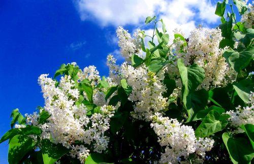 balta,be,gėlės,pavasaris