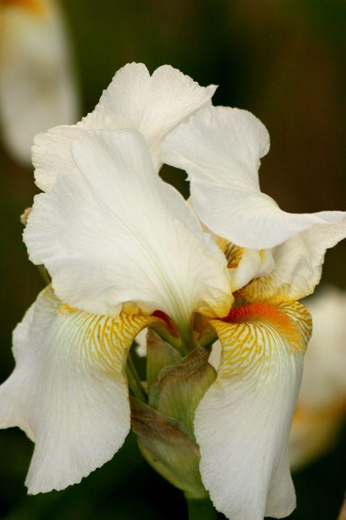 gamta, gėlės, iris, barzdotasis & nbsp, iris, balta & nbsp, iris, balta & nbsp, bearduota iris, auksas, venos, aukso & nbsp, venų, žiedlapiai, barzda, tamsus & nbsp, fonas, baltos berodios oreotos arklidės