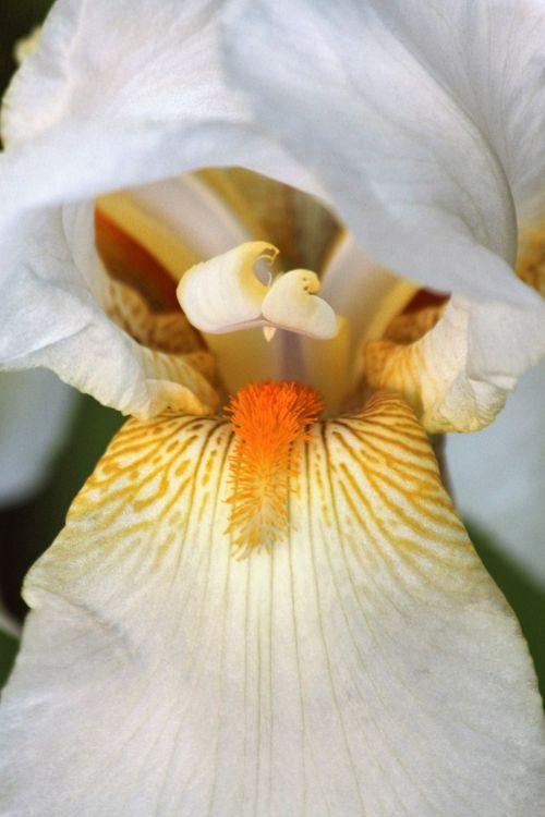 gamta, augalai, gėlės, balta & nbsp, gėlės, iris, balta & nbsp, iris, barzdotasis & nbsp, iris, balta & nbsp, bearduota iris, Iš arti, makro, žiedlapiai, aukso & nbsp, venų, oranžinė barzda, teka, žydėti, baltos berodios iris makro
