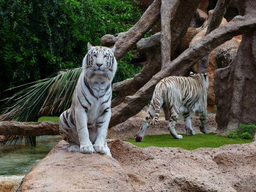 baltos bengalijos tigras,tigras,sėdėti,poilsis,nuobodžiaujantis,plėšrūnas,katė,pavojingas,Wildcat,didelė katė,karaliaus tigras,panthera tigris tigris,bengališkas tigras,Indijos tigras,balta königstieger,balta,panthera tigris,baltasis tigras,kilnus,didingas,sublime