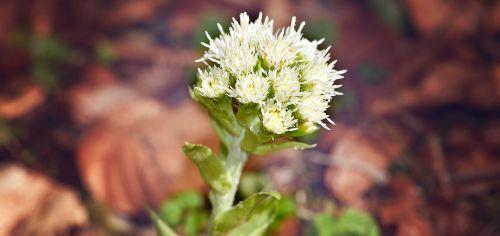 balta butterbur, augalas, vaistinis augalas, miško augalas, petasitas albus, kompozitai, miškas, gamta, laukinis augalas, Uždaryti, gėlės