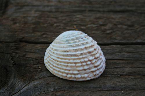 lukštas, jūra, clam, balta, Raguotas, ponia & nbsp, laukia, balta dumblių lukštas 2