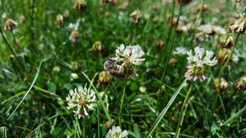 baltas dobilas,bičių,trifolium repens,trefoil,medaus BITĖ,dobilas,trijų lapų dobilai,laimingas dobilas,gėlė,vabzdys,simbolis,sėkmė,augmenija,gamta,gėlių,augalas,flora,žiedas,žydėti,botanikos,ekologiškas,wildflower,lapai,balta,žalias,laukas,natūralus,kaimas