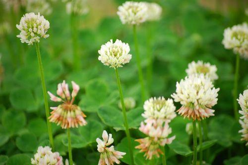 baltas dobilas,dobilas,natūralus,gėlės