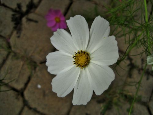 Gėlė,  Kosmosas,  Balta,  Žiedlapiai,  Taurė,  Baltas Kosmosas