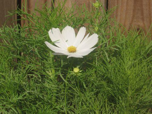 balta, kosmosas, gėlė, sodas, gamta, augalai, baltas kosmosas