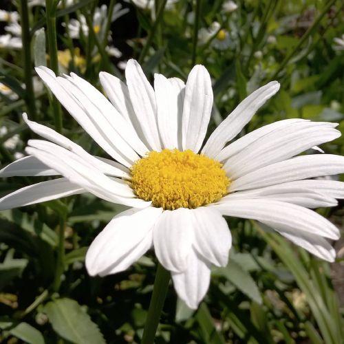 balta daisy,gana balta daisy,švieži balta daisy,natūrali balta daisy,ryškiai balta daisy