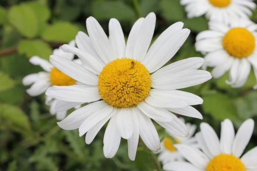 balta daisy,gėlė,Daisy,gamta,balta,gėlių,pavasaris,vasara,augalas,žiedas,geltona,natūralus,žydėti,žalias,sodas