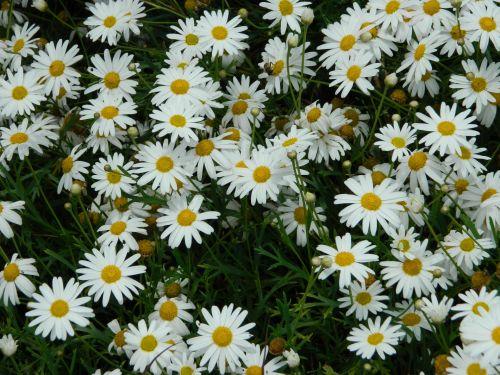 Daisy, rozės, fonas, gėlė, gamta, balta & nbsp, geltona, balta daisy gėlės