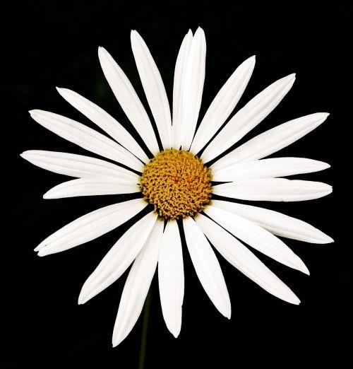gėlė, Daisy, balta, paprastas, centras, geltona, balta daisy ant juodo fono