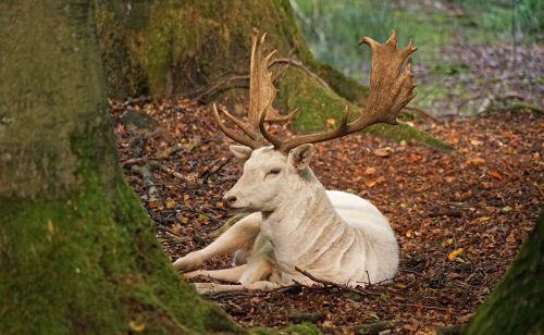 baltos paprastosios elnies,antler,miškas,paprastosios elnies,melas