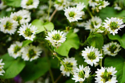 balta gėlė,gėlė,balta,mažas,Uždaryti,augalas,gamta,žiedas,žydėti,laukinė gėlė,pavasaris,graži gėlė,sodas,vasara,laukinės gėlės,žalias