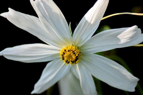 balta gėlė,makro,pistil,baltieji lapai,gėlė,gamta,balta,Uždaryti,augalas,pavasaris,sodas,flora,žydėti,datailaufnahme,makro nuotrauka,ankstyvas bloomer,aštraus gėlė,vasara,balta geltona