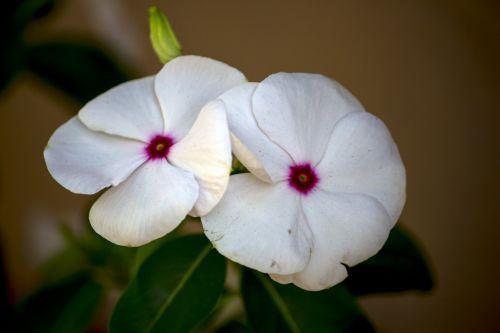 balta gėlė,gėlė,balta,augalas,gėlės,pavasaris,subtilus gėlių,subtilus,gamta,sodas,natūralus