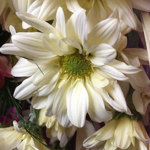 Balta gėlė, kuokelių, gėlė, žiedlapiai, pobūdį, baltos spalvos, baltos žiedlapių, žydėjimo, balta spalva, Grožio, baltos gėlės, gėlės, Sodas, subtilus, augalų, žiedlapiais baltos spalvos, Florida augmenija, pistils, duomenys, vainiklapis