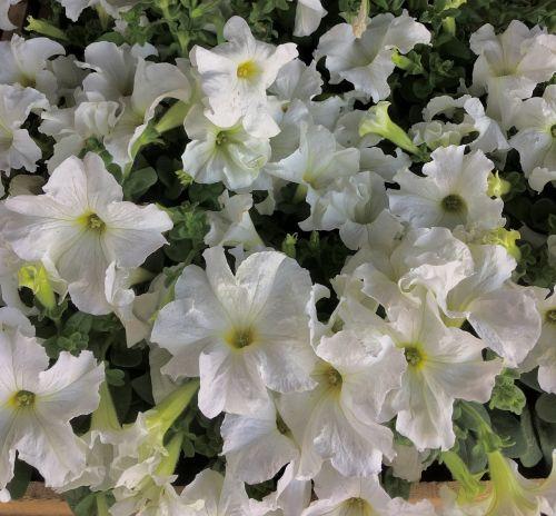 baltos gėlės,balti žiedlapiai,žiedlapiai,gamta,balta,gėlės,balta gėlė,sodas,grožis,pavasaris,balta spalva,gėlė,augalas