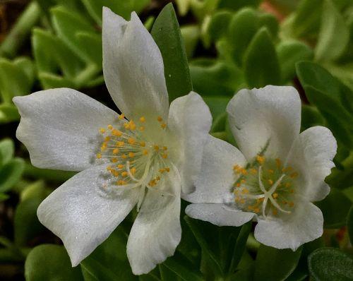 baltos gėlės, žiedlapiai balti, žiedlapiai, gamta, balta, sodas, balti žiedlapiai, gėlės, balta gėlė, pavasaris, balta spalva, žydėjimas, grožis, tuti, be honoraro mokesčio