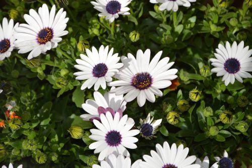 baltos gėlės, augalai, augalas, vasara, sodas, gamta, masyvas, gėlių sodas, gamtos sodas, romantiškas sodas, gėlės žiedlapiai, balta, sodininkystė, dekoratyvinis, žydėjimas, be honoraro mokesčio