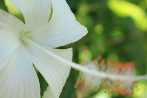balta & nbsp, gėlė, gėlė, vienas, vienintelė & nbsp, balta & nbsp, gėlė, viena gėlė, fonas, tapetai, maža & nbsp, gėlė, gėlė & nbsp, su & nbsp, lapais, lapai, žalios spalvos & nbsp, lapai, balta gumamela gėlė