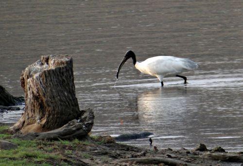 baltas ibis,ibis,paukštis,Wader,kranto paukštis,vandens paukštis,aves,paukštis,fauna,avifauna,Indija