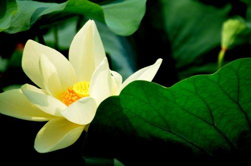 gėlė, gėlės, lotosas, žiedas, balta, gamta, baltas lotosas