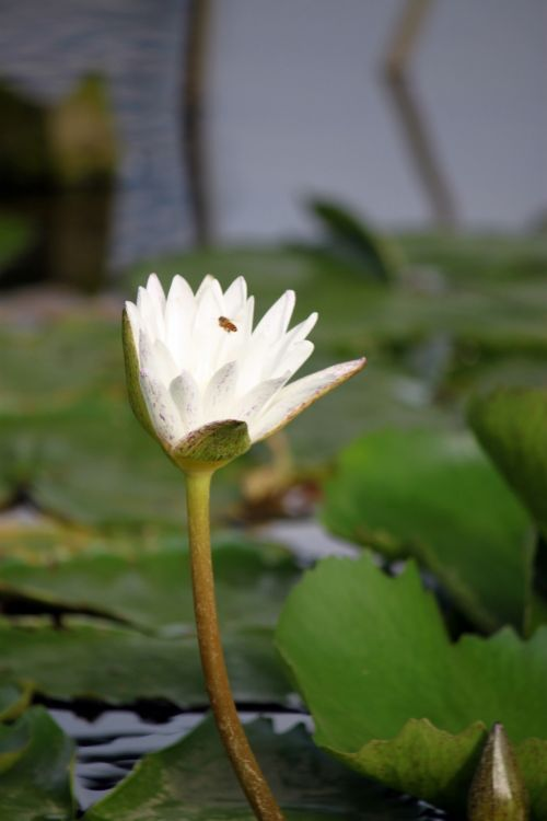 baltas & nbsp, lotus & nbsp, gėlių & nbsp, žiedas, bičių & nbsp, rinkti & nbsp, medus, pumpurai, lotus & nbsp, budas, tvenkinys, balta lotoso gėlė žiede