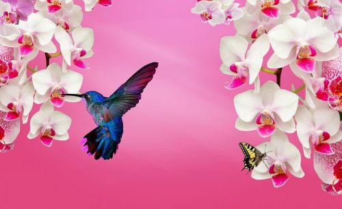 balta orchidėja,orchidinė rožinė,orchid violetinė,gamta,hummingbirds,orchidėja,sodas,dekoratyvinė gėlė,paukštis,alyvinė orchidėja