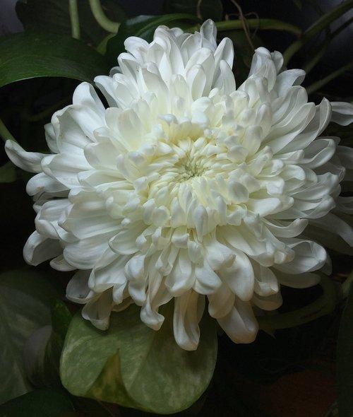 baltos žiedlapių, Balta gėlė, gėlė, baltos spalvos, žiedlapiai, pobūdį, balta spalva, Sodas, pavasaris, baltos gėlės, žiedlapiais baltos spalvos, augalas