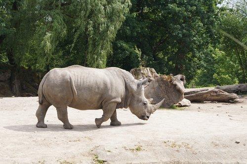 balta Degunradzis, Rhino, Gyvūnas gruboskóre, ragas, Zoo, gyvūnas, laukinis gyvūnas