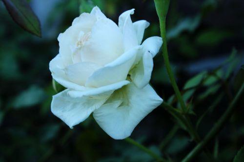 balta & nbsp, rožės, rožės, laukiniai & nbsp, rožės, gėlės, lapai, erškėčių, stiebas, balta rožė 2