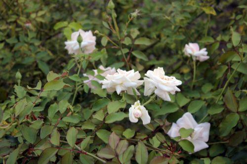 balta & nbsp, rožės, rožės, laukiniai & nbsp, rožės, gėlės, lapai, erškėčių, baltos rožės