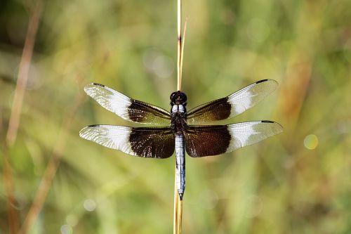 gamta, laukinė gamta, gyvūnai, vabzdžiai, lazda, našlė & nbsp, skimmer, vyrų & nbsp, našlė & nbsp, skimmer, mėlynas & nbsp, drakonas, sparnai & nbsp, plitimą, sparnai, sparnai & nbsp, atidaryti, putojantis, sparnai & nbsp, putojantis, nendrė, stiebas, klijuoti, laikyti & nbsp, neryškus & nbsp, žalias & nbsp, fonas, Bokeh, našlė šlaunikaulio laumžirgis arti