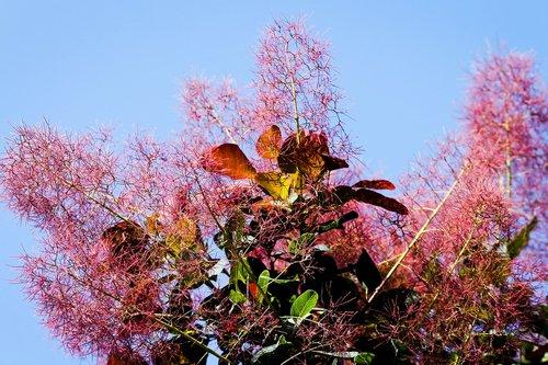 perukas šepetys, Cotinus coggygria, Barwiarz žagrenių, SCHMACK, fisettholz, Žagrenių žalia, dekoratyvinių krūmų, įspūdis, šviesus, krūmas, raudona, sodo augalų, dekoratyvinis augalas, grove, perukas medis