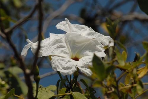 laukiniai,flora,cazahuate