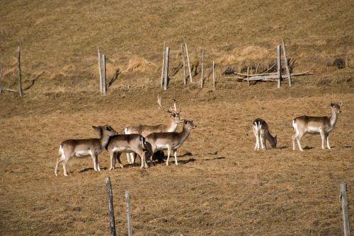 laukiniai, paprastosios elnies, žinduolis, stiragai, Hirsch, antler, Kitz, ganyti, gyvūnų pasaulis, žvilgsnis, jauni paprastosios elnies, gaubtas