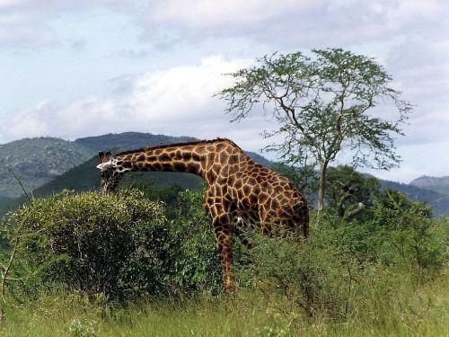 laukinis gyvūnas,žinduolis,žirafa,retikuliuotas žirafas,žolė stepė,savana,žolės,afrika,kenya,ekvatorius,bushland