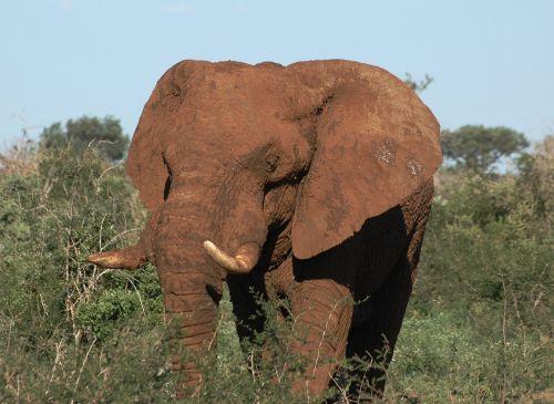 laukinis gyvūnas,pietų Afrika,dramblys,madikwe,safari,afrika,gyvūnai