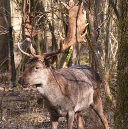 laukinis gyvūnas,Hirsch,antler