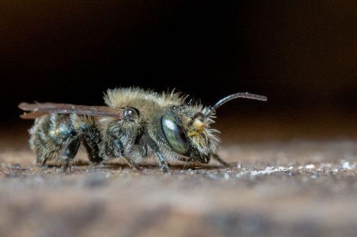 Osmija,masonas bičių,laukiniai bitės,vienišas bičių,bičių,Hymenoptera,vabzdys,akis,zondas,gyvūnas,gamta,gyvūnų pasaulis,Uždaryti,makro