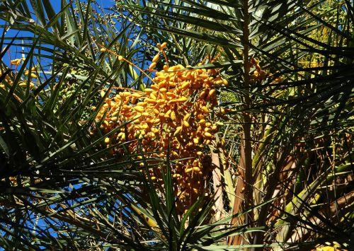 laukinė palmių diena,phoenix sylvestris,Toddy palmių,vaisiai,Dharwad,Indija