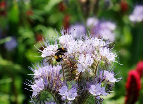 laukinė gėlė,Tansy-Phazelie,bueschelschoen,gėlė,Hummel,gamta,pavasaris,vasara,aštraus gėlė,nektaras,rinkti nektarą,violetinė,purpurinė gėlė,žiedas,žydėti