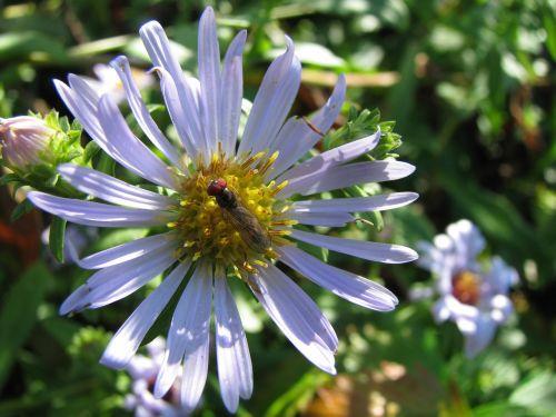 laukinė gėlė,mėlynas asteris,makro,gamta