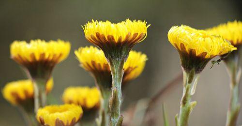 laukinės gėlės,geltona,geltonos laukinės gėlės,gamta,laukinės vasaros spalvos,augalas,pavasaris,flora,gėlės