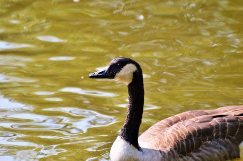 laukiniai žąsys,žąsis,vandens paukštis,paukštis,naminiai paukščiai,žirniai,migruojanti paukštis,gyvūnas,vanduo,laukinis paukštis,tvenkinys,ežeras,plaukti