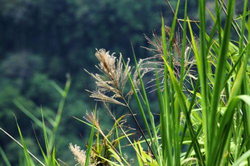 laukinė & nbsp, žolė, laukas, ilgi & nbsp, lapai, žalios spalvos & nbsp, lapai, laukinė žolė lauke
