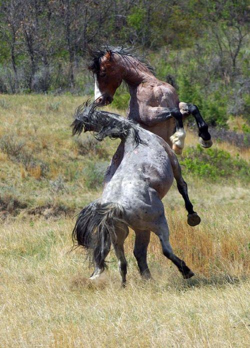 arkliai, laukiniai, laukiniai, dykuma, tapetai, viešasis & nbsp, domenas, fonas, ns, šiaurės dakota, usa, Theodore & nbsp, Roosevelt & nbsp, nacionalinis & nbsp, parkas, laukinė gamta, gamta, šventykla, laukiniai & nbsp, žirgai, kovos, Laukiniai arkliai